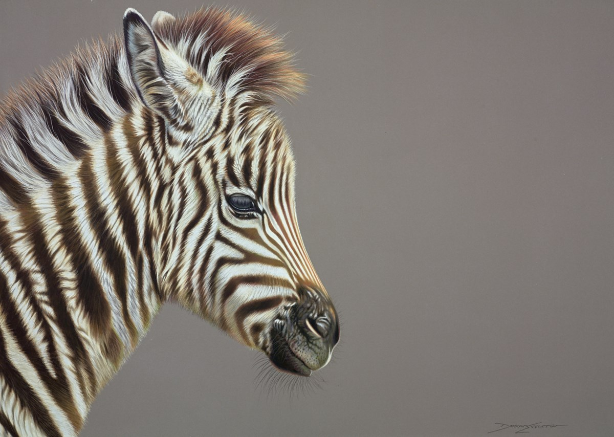 Baby Zebra by darryn eggleton -  sized 28x20 inches. Available from Whitewall Galleries
